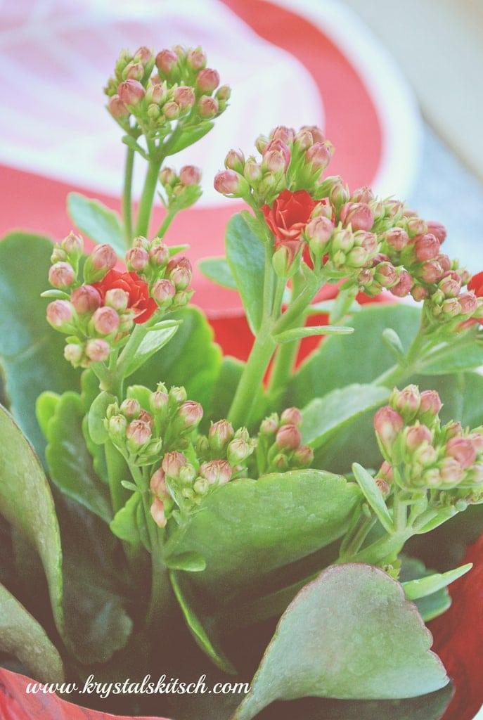Mini Roses Plant