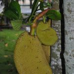 What is a Jackfruit?
