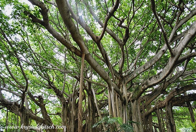 Historic Banyan Tree at Cypress Gardens