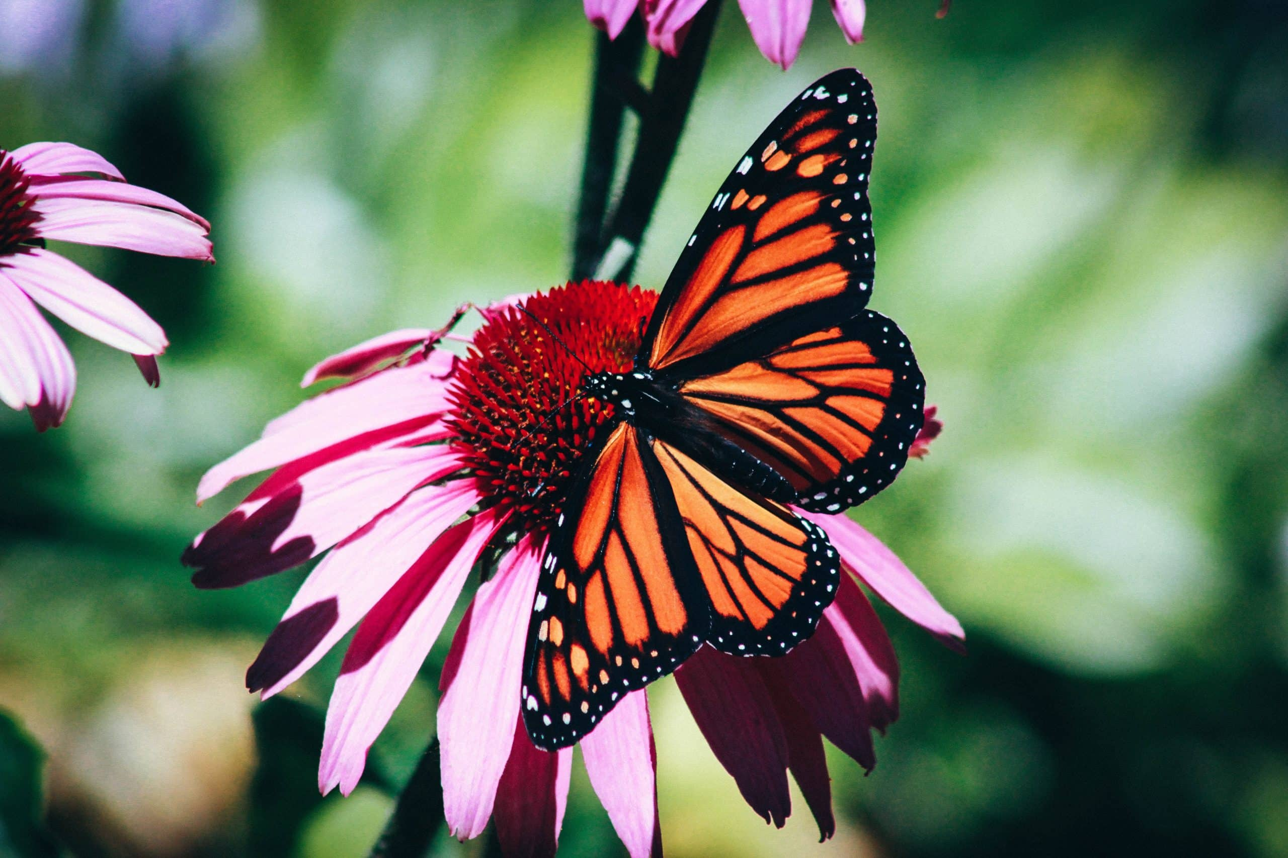 12 Fun Facts To Know About Monarch Butterflies