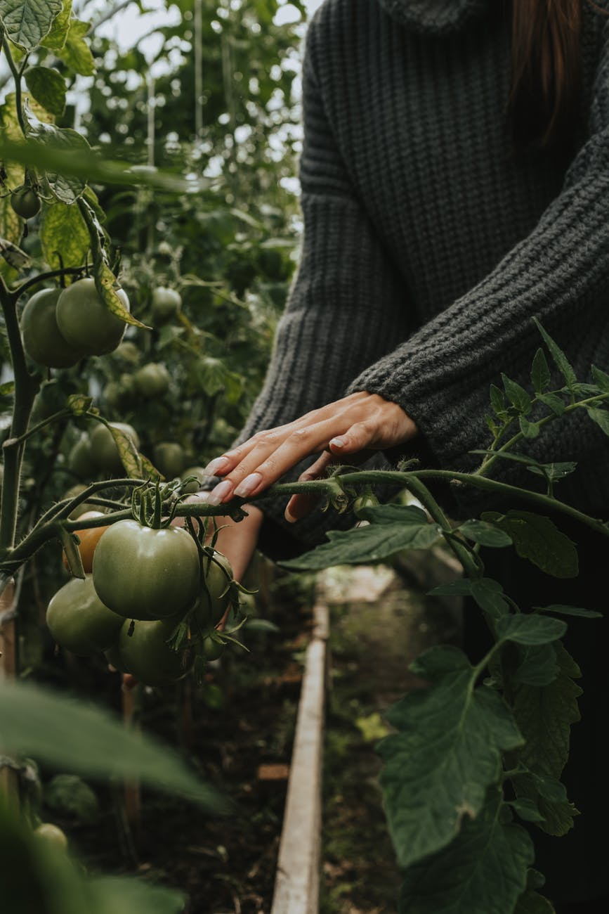 person holding green tomato fruit
