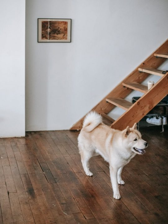 cute purebred dog walking on parquet floor at home