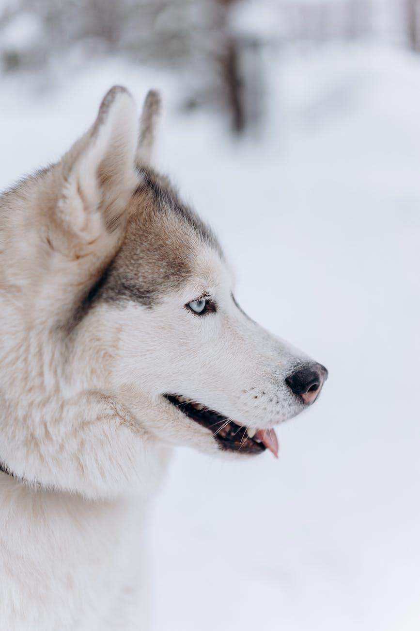 Is An Alaskan Malamute A Good Family Dog?