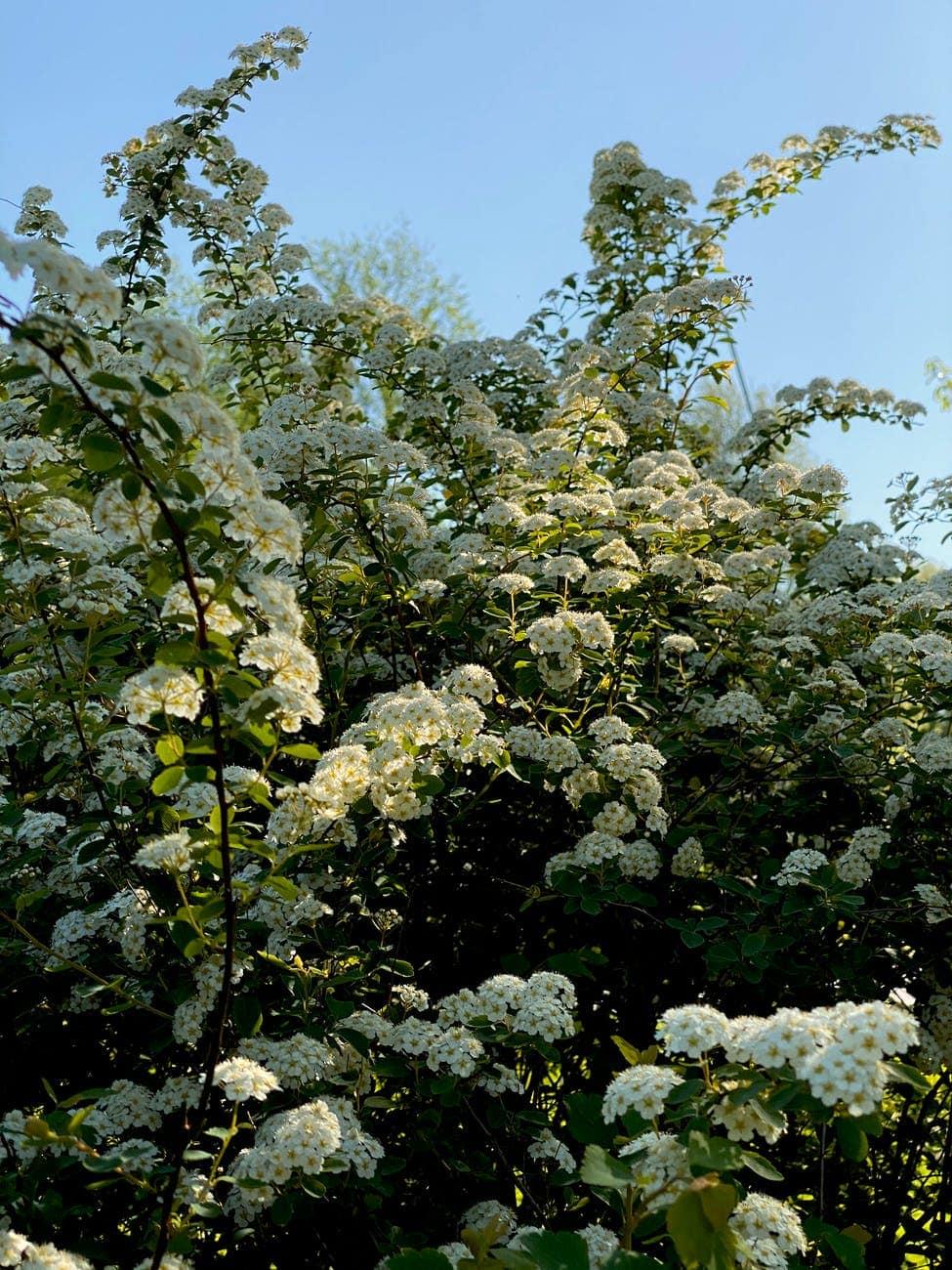 spiraea flowers blooming in park
